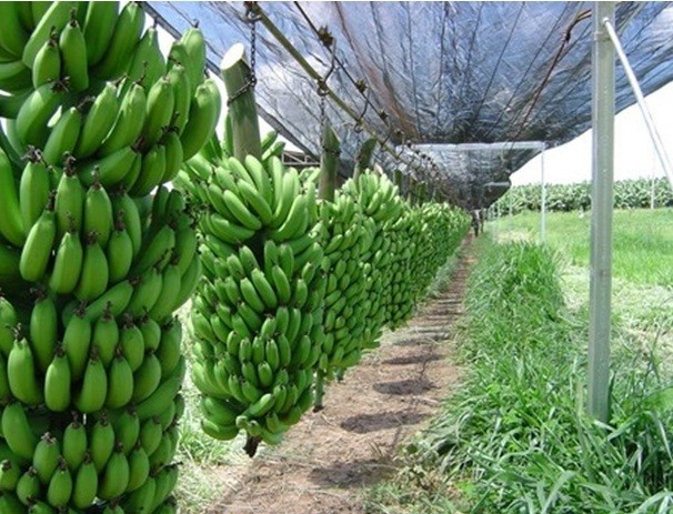Eindeloze toepassingen met groene bananen